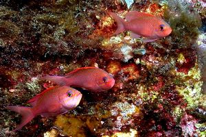Castagnola rossa (Anthias anthias)