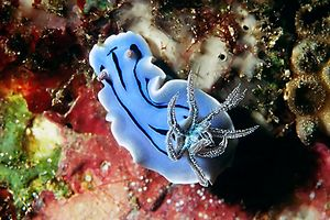 Chromodoris willani (Chromodoris willani)