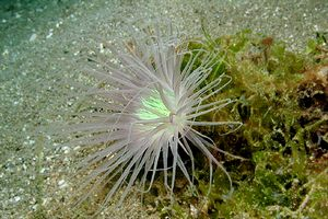 Anemone (Pachycerianthus n.d.)