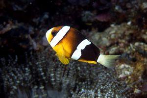 Pesce pagliaccio di clark amphiprion clarkii scheda di for Pesce pagliaccio foto