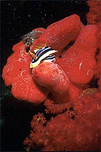Nudibranchio pigiama (Chromodoris quadricolor)
