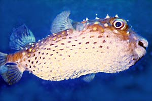 Pesce istrice (Diodon holocanthus)