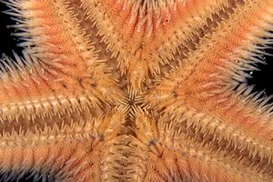 Stella pettine (Astropecten sp.)
