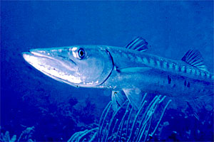 Barracuda (Sphyraena barracuda)