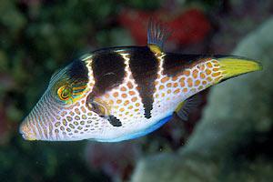 Pesce palla canthigaster valentini scheda di for Pesce palla immagini