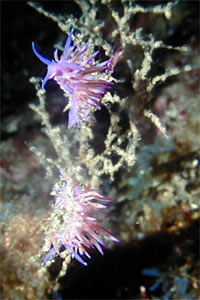 Flabellina rosa (Flabellina affinis)