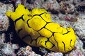 Notodoris (Notodoris minor)